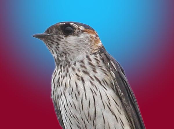 swallow-c