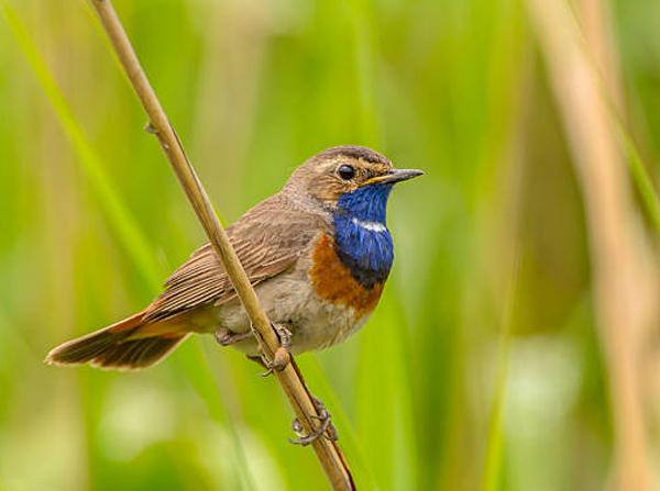 Neelkanthi: Shiva's Bird