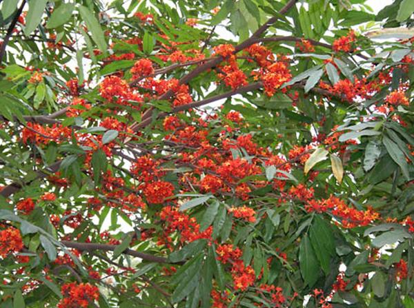 The story of the Ashoka tree – Talking Myths